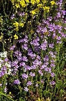Fairy, Foxglove, Erinus, alpinus,