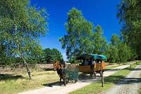 Horse, coach, nature, park, Sudheide, Lower, Saxony, Germany, Südheide, Misselhorner, Heide,