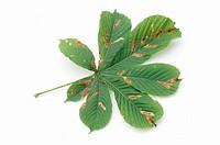 Horse, Chestnut, leaves, with, damage, of, Horse, Chestnut, Leaf-miner, Aesculus, hippocastanum, Cameraria, ohridella,