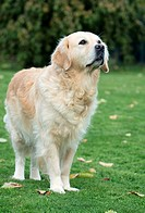 Golden, Retriever
