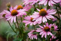 Purple Coneflower,  Magnus, 'Echinachea  purpurea' in private garden. Southern Oregon coast, USA