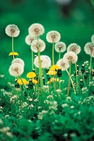A Spore Of Dandelion And Dandelion