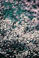 Ume flower,Korea