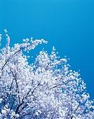 Cherry Blossom In Spring,Korea