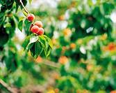 Apricots Hanging On The Tree,Korea
