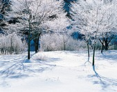 Snow Covered Trees,Korea