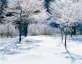 Snow Covered Trees,Korea