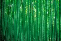 Bamboo,Damyang,Jeonnam,Korea