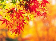 Maple Leaves In Autumn,Korea