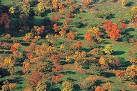 Maple trees in Autumn,Czech Republic