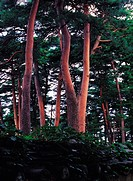 Pine Forest,Ojukheon,Gangwon,Korea