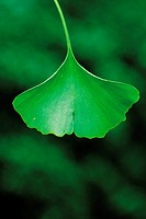 Close-up Of A Ginkgo Leaf