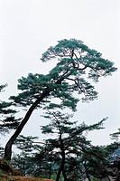 Pine Trees,Gyeongbuk,Korea