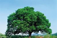 Zelkova Tree,Chungbuk,Korea