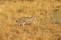 A Cheetah,Kenya