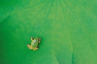 A Frog On Top Of A Lotus Leaf