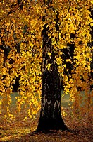 Birch in autumn. Sweden