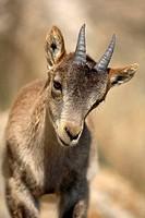 Spanish Ibex (Capra pyrenaica),  Ares del Maestrat. Spain.