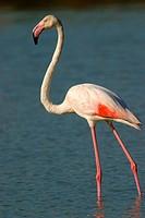 Greater Flamingos (Phoenicopterus ruber roseus). Salinas de Calpe. Alicante Province. Spain.
