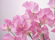Concept Pink Lathyrus odoratus Japan Flower