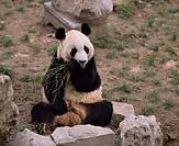 Animal Mammals, Beijing panda, Beijing, China