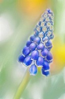 Grape Hyacinth. Muscari armeniacum. March 2007, Maryland, USA