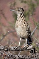 Greater Roadrunner (Geococcyx californianus). Arizona. Perched on cholla cactus branch. Large-crested terrestrial bird of arid Southwest. Common in sc...