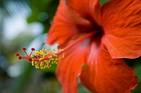 Hibiscus , Maldives Islands, Indian Ocean