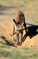 Bat-eared Fox, Otocyon megalotis, excavating burrow, Kgalagadi Transfrontier Park, Kalahari, South Africa