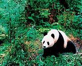 panda,China