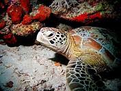 Green Turtle (Chelonia mydas). Celebes Sea, Malaysia