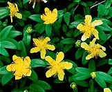 Great St. Johnswort Hypericum pyramidatum, Olympic National Park, Washington, USA.