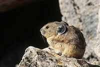 Pika Ochotona princeps in Yellowstone National Park, Wyoming.