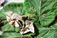 Silk moths Bombyx mori and their eggs on mulberry leaves Morus nigra.
