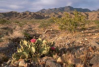 Brilliant blooms of beavertail cactus Opuntia basilaris flowers enliven Death Valley National Park, California. The beavertail cactus lacks the spines...