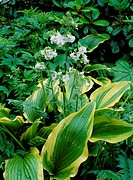 Hosta ´Aureomarginata´ montana with Polemonium caeruleum ´Lacteum´.