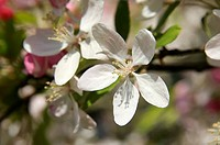 Crabapple blossom Malus sp.. Photographed in spring.