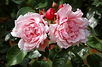 Rambler rose flowers Rosa ´Albertine´.