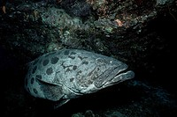 Big potato cod Epinephelus tukula, a grouper, swims in a cave in the Great Barrier Reef, Australia.