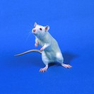 A white laboratory rat, which is used in medical and toxicology research.