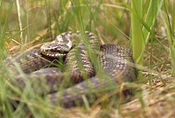 Close_up view of a snake in the grass