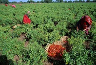 Women working in red chillies field