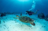 Scuba diver swimming alongside a tortoise