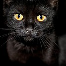 A black cat staring at camera