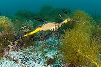 Common sea dragon Phyllopteryx taeniolatus. This seadragon is found throughout the eastern Indian Ocean off the coasts of Australia. Fertilised eggs a...