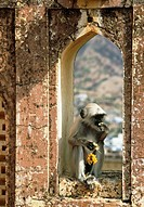 Langur monkey. View of a langur monkey Presbytis entellus eating a flower in the arch of a fort window. The langur is also known as the entellus, Hanu...