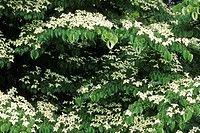 Dogwoods. West coast forest landscape. British Columbia, Canada