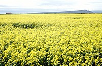 Mustard field with hills at distance