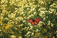 Monarch butterfly Danaus plexippus pauses on the Louisiana gulf coast during migration.
