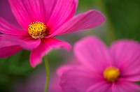 Close_up of Cosmos flowers